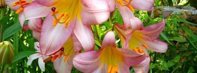 Štiri metode vzreje lilija