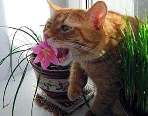 Какво да правите, ако котка яде цветя