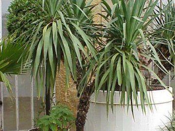 Kaj naj storim, če se listi porumenijo Yucca?