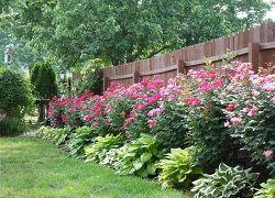 Uzgoj Domaćini dijeljenjem grma i sjeme