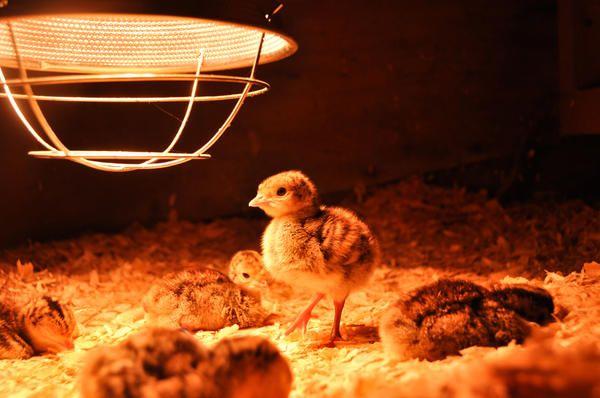 Пиле къща има свое име - квачка