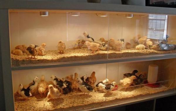 Снимки от сайта https://cdn.backyardchickens.com
