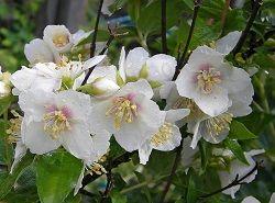 Чубушник – ароматный и неприхотливый садовый житель