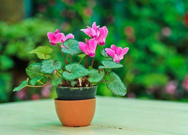 Cyclamen: opis, oskrba in gojenje sobi cvet