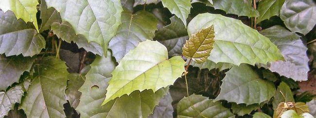 Циссус: описание растения, основной уход за циссусом, размножение циссуса, пересадка