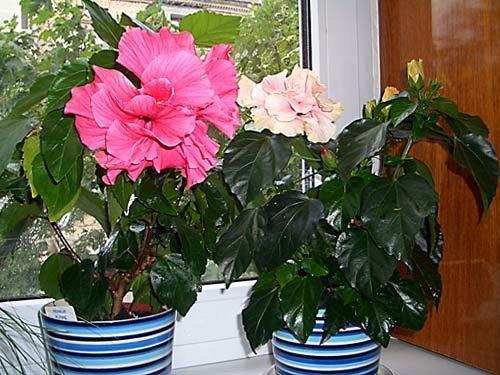 Цветение гибискуса - яркое событие в вашем доме