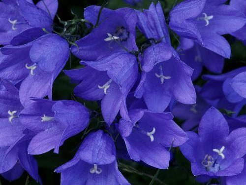 Цветки колокольчики в картинках или как украсить свой дом