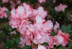 Цветок азалия, окутанный тайной