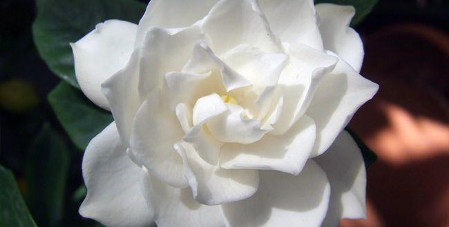 Gardenia cvet - kako skrbeti doma