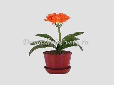 Flower Clivia: gojenje in nego na domu