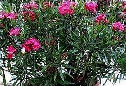 Oleander cvet: kako rastejo okrasne grm na okensko polico?