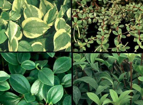 Цветок пеперомия, уход и размножение