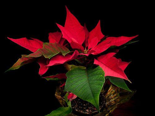 Цветок пуансеттия. Уход за растением