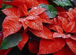 Цветок рождественская звезда к новогодним праздникам