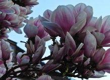 Цветущая аристократка весеннего сада
