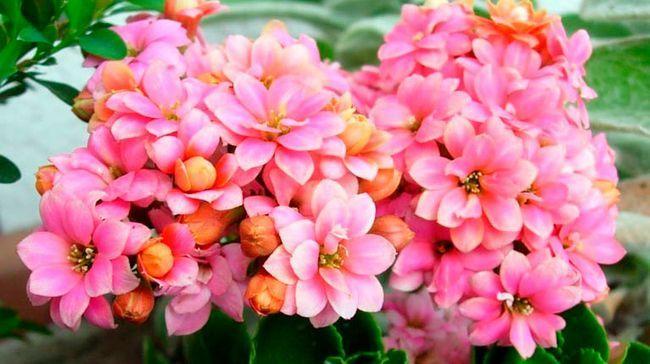 Blooming kalanchoe: oskrbo na domu