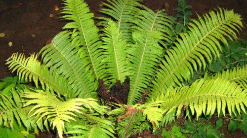 Цветущий папоротник - легенда или украшение леса
