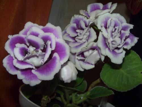 Цветы глаксиния и уход за ними