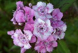 Гвоздика в качестве декоративного и лечебного растения
