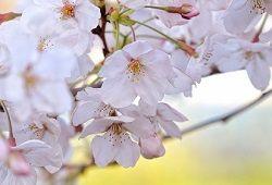 Cvetje iz polimernega gline: sestava veje češnje