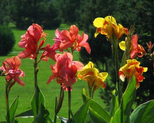Цветы канны - экзотика сада