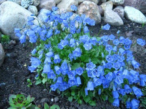 Цветы колокольчики: красота в саду без особого ухода