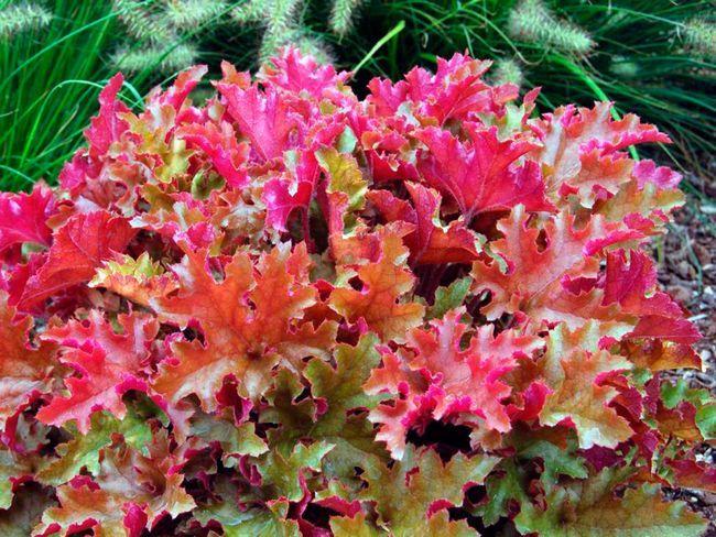 Растения с декоративными листьями, такие как хоста, гейхера, бруннера