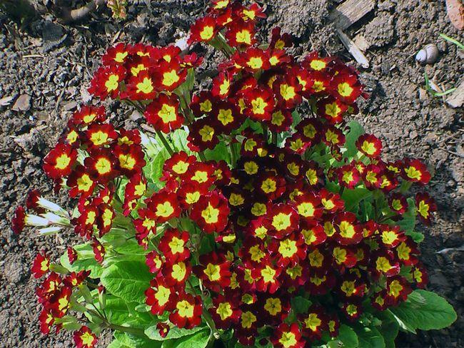 Одними из главных цветущих растений для тенистых мест можно назвать первоцветы, такие как примулы