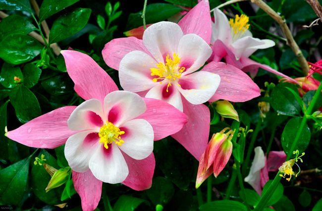 Аквилегия, в народе известная как водосбор, эффектно выделяется среди других растений благодаря необычной форме цветка