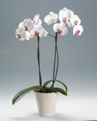 Далеко не простчок - комнатный цветок орхидея