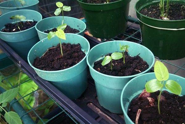 Semena, ki kalijo Passiflora