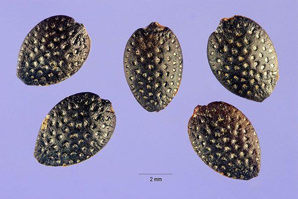 Za Pasijonka semena hitro kalijo, jih je treba posebej pripraviti