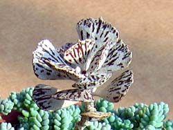 Каланхоэ – типичный цветок без каприз