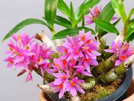 Nega Dendrobium