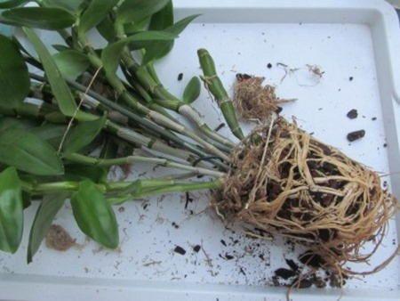 transplantacija Dendrobium
