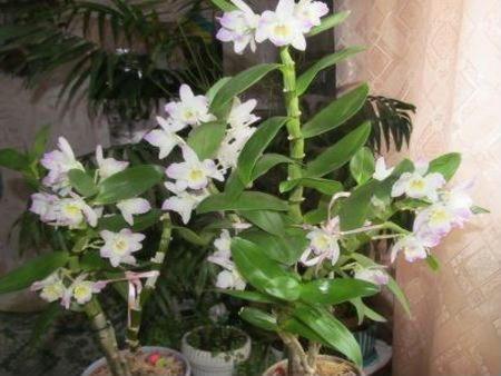 cvetenja Dendrobium
