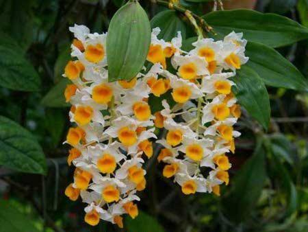 Pogosta vprašanja o Dendrobium
