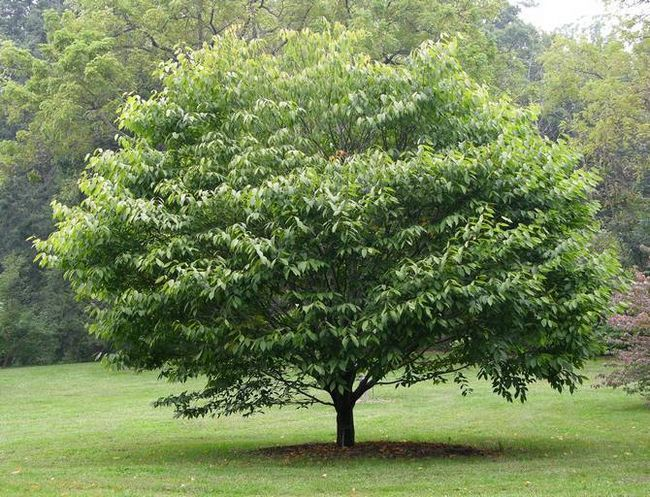 Дерево граб. Описание, свойства, где растет