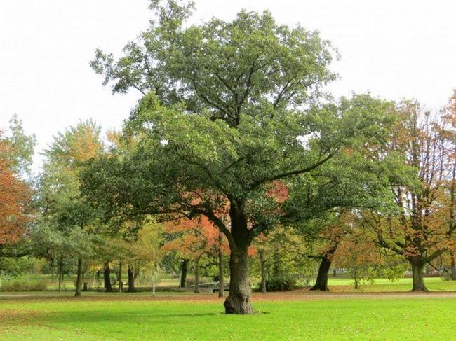 Črna jelša drevo
