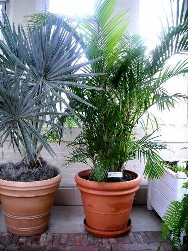 Домашние пальмы на фото - прекрасное украшение дома