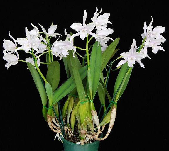 Lelia Orchid nega