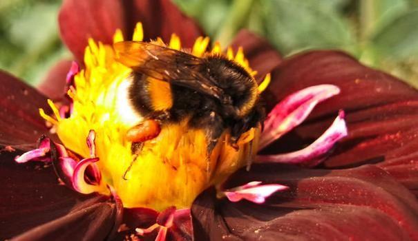 Земните пчели работят в градината през цялото лято, без да се уморен