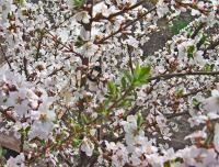 Още в началото на пролетта в градината можете да видите на пчелите