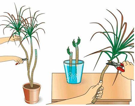 Драцена уход в домашних условиях, пересадка и размножение