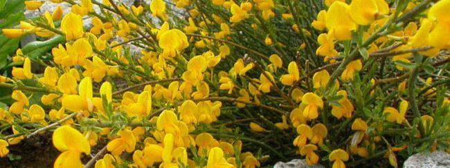 Дрок: описание, размножение, уход, посадка, применение в саду, фото, сорта и виды