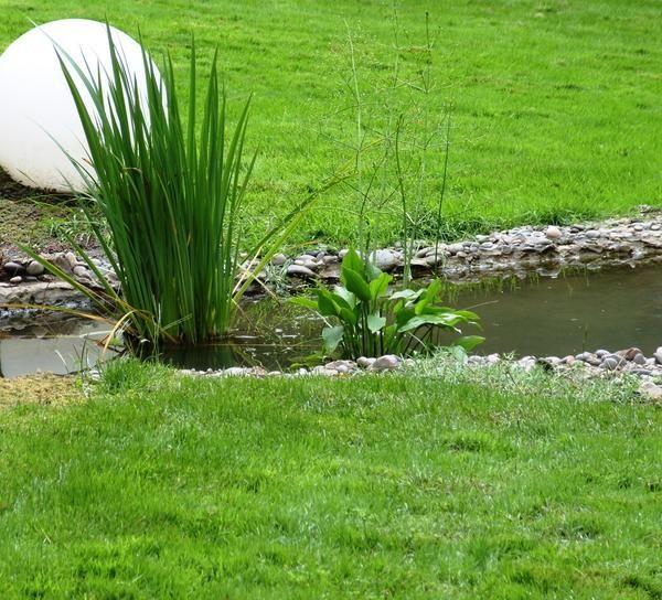 Ако вашето езерце се разраства Alisma plantaginaceae или Alisma