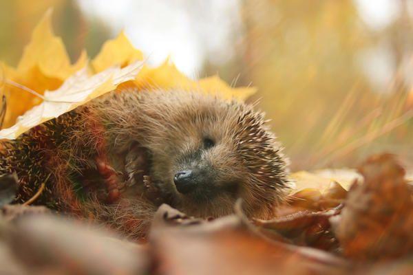 Осенью ежи готовятся к спячке