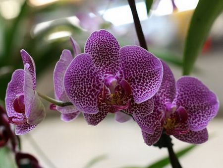 Phalaenopsis и pafiopedilyum, Искам да споделя