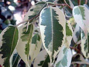 Ficus benjamina капки листа. Защо? част 1