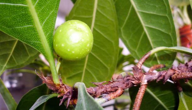 Фикус бокальчатоприлистниковый (Ficus cyathistipula)